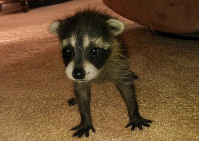 A tiny racoon is in a home standing on its four legs looking at the camera