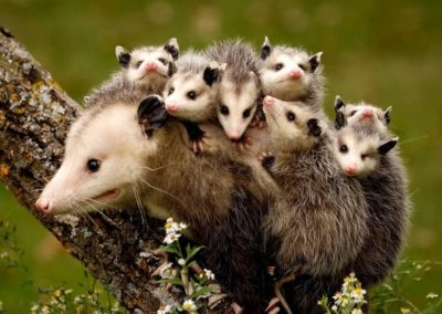 A Opossum on a tree branch with babies on her back
