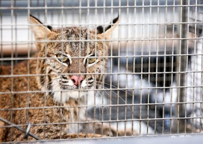 A bobcat in a cage