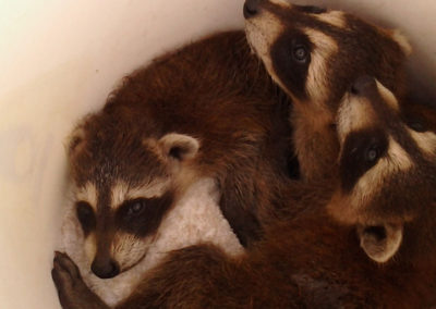 Three baby racoons laying together