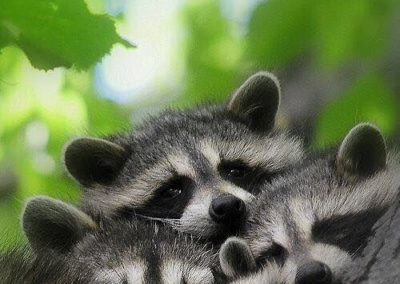 A family of racoons are huddled together against a tree